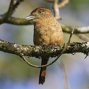 Grünschnabel-Faulvogel (Nystalus radiatus)