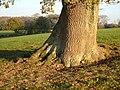 Oak near West Hatch - geograph.org.uk - 1609438.jpg
