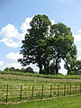 Oaks at Brockhampton - geograph.org.uk - 1355514.jpg