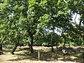 Oaks in a clearing - geograph.org.uk - 1454925.jpg