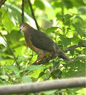 Ochre-bellied dove species of bird