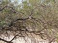 Ocyphaps lophotes (39056220725).jpg