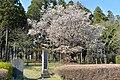 Odo cherry tree (Odo no Sakura in Ibaraki town, Ibaraki prefecture).jpg