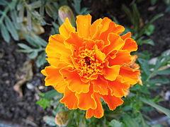 Oeillet d'Inde orange 1.JPG