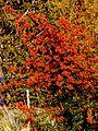 Ognik szkarłatny (Pyracantha coccinea M.Roem) 04.jpg