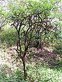 Old sambucus nigra.jpg