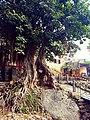 Old tree in saidpur village.jpg