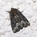 Oligia.strigilis.7217.jpg