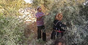 Olive production in Palestine - Palestinian Olive harvest in 2014