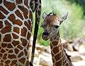 One day old giraffe with mother -Birmingham Zoo.jpg