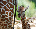 Wikimedia Commons image of One_day_old_giraffe_with_mother_-Birmingham_Zoo.jpg