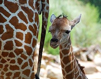 Birmingham Zoo - Baby giraffe, Willow, with mother, Juno, in July 2008