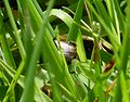 Onthophagus species - Flickr - gailhampshire (2).jpg