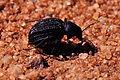 Onymacris unguicularis in Namib Desert.jpg