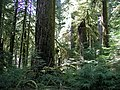 Opal creek old growth 2.JPG
