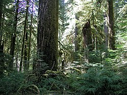 Old-growth forest in the Opal Creek Wilderness, a National Wilderness Preservation System located in the Willamette National Forest in the U.S. state of Oregon, on the border of the Mount Hood National Forest. It has the largest uncut watershed in Oregon.