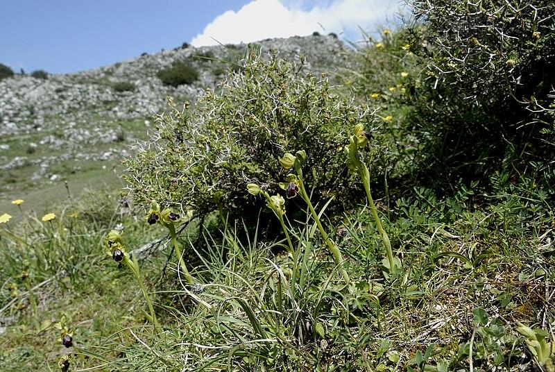 File:Ophrys cinereophila-001.jpg