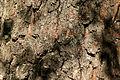 Oppsprukken svart bark på gammel dunbjørk A.JPG