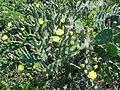 Opuntia arechavaletae.jpg