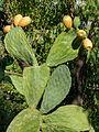 Opuntia ficus indica 1400086 7 8 Natural HDR Nevit.jpg