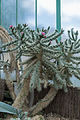 Opuntia pycnantha - 92.jpg