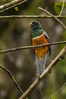 Orange-bellied trogon species of bird