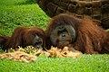 Orangutans (5213308335).jpg