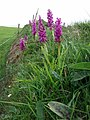 Orchis mascula - geograph.org.uk - 425330.jpg