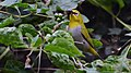 Oriental white eye at IIT Delhi.jpg