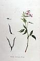 Orobus tenuifolius — Flora Batava — Volume v11.jpg