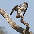 Osprey (5484751781).jpg