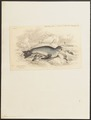 Otaria ursina - 1700-1880 - Print - Iconographia Zoologica - Special Collections University of Amsterdam - UBA01 IZ21100063.tif