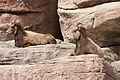 Ovis canadensis at the Denver Zoo 2012 03 12 001.jpg