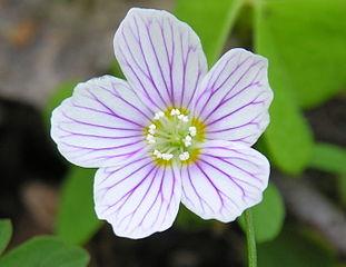 Kyslička obyčajná - kvet