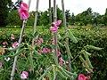 P1000298 Lathyrus odoratus (Prince Edward of York) (Leguminosae) Plant.JPG