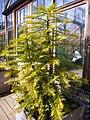P1130551 Wollemia nobilis Wollemi Pine (Araucariaceae).JPG