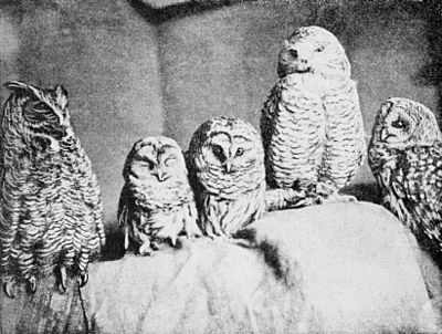 PSM V41 D328 Five different types of owls.jpg
