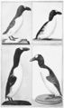 PSM V62 D516 The great auk in various museums.png