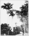 PSM V66 D411 Royal palms at pembroke hall near hamilton.png