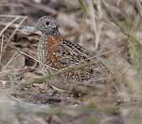 Paainted Buttonquail kobble08