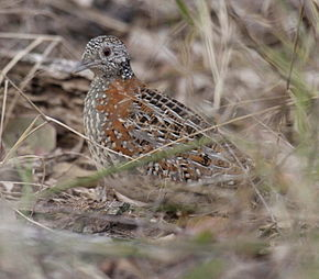 Description de l'image Paainted Buttonquail kobble08.JPG.