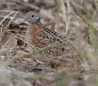 Buttonquail - Image: Paainted Buttonquail kobble 08