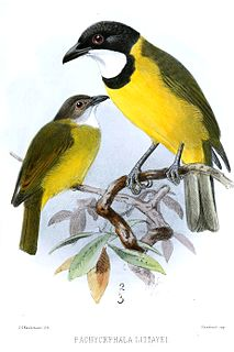 Melanesian whistler species of bird