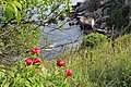 Paeonia peregrina and Asphodeline sp..jpg