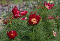 Paeonia tenuifolia - Kew Gardens.jpg