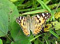 Painted Lady Vanessa cardui UP by Dr. Raju Kasambe DSCN3827 (13).jpg