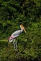 Painted stork0.jpg