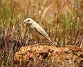 Pale rockfinch (ഇളം പാറക്കുരുവി ) - 19.jpg