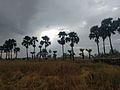 Palm tree myanmar.jpg