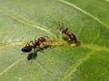 Panaphis juglandis and Crematogaster scutellaris 05.jpg